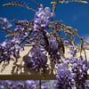 Braidwood bread stop (OzzRod) Tags: pentax k1 hdpentaxdfa28105mmf3556 plant flower wisteria mauve creeper vine park braidwood dailyinoctober2017