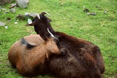 unconditional love (Tanja-Milfoil) Tags: fly tier animal tanja milfoil shot aufnahme schutz liebe bedingungslose love goats ziegen nikond5300 nikon