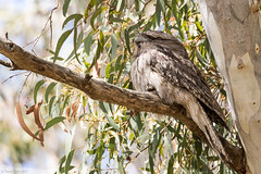249A5534 (tonyclark468) Tags: tawny frogmouth anbg canberra act