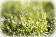 Dew on green (Explored) (Greenstone Girl) Tags: greengrass morningdewbokeh