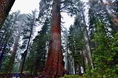 Those Sequoia Trees Are Huge! (Kings Canyon National Park) (thor_mark ) Tags: nikond800e day8 triptopasoroblesandyosemite lookingnorth lookingup kingcanyonnationalpark capturenx2edited colorefexpro kingscanyonnationalpark sequoiaandkingscanyonnationalparks unescosequoiakingscanyonbiospherereserve sequoiakingscanyonbiospherereserve giantsequoias outside trees hillsideoftrees evergreens landscape nature talltrees talltreesallaround sequoiadendrongiganteum overcast redwoods person personwalking lightdrizzle pacificranges sierranevada sequoiasierranevada westernsequioakingscanyonarea walktothegeneralgranttree generalgrantgrove thegeneralgranttreetrail project365 california unitedstates
