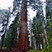 Those Sequoia Trees Are Huge! (Kings Canyon National Park)