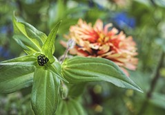 Zinnia-In-Waiting (~ Liberty Images) Tags: flowers garden gardening nature creation lovely libertyimages zinnia bud peachy green