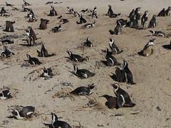 African penguins (Spheniscus demersus) on Boulders Beach, Simon's Town (rjmiller1807) Tags: penguin penguins africanpenguin jackasspenguin sphensicusdemersus simonstown bouldersbeach capetown southafrica kaapstad 2017 chicks babyanimals babypenguins cute sony cybershot sonydch300