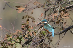 Martin Pêcheur (jeanot94) Tags: alcedoatthis kingfisher commonkingfisher martinpescador martinpescator guardarios eisvogel ijsvogel jégmadár martinpescatoreeurasiatico kungsfiskare isfugl rybárikriečny ledňáčekříční kuningaskalastaja blauetcomú bláþyrill zimorodekzwyczajny zivjudzenītis vodomec обыкновенныйзимородок rajaudangerasia 普通翠鸟 普通翠鳥 นกกะเต็นน้อยธรรมดา