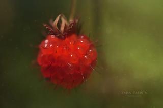 Salmonberry ( Brish Columbia,CA )