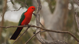 The stunning male King Parrot - Alisterus scapularis