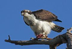 Osprey and fish at Sandy Hook (Tombo Pixels) Tags: osprey fish eating feeding lunch sandyhook0587 bird sandyhook nj newjersey twb1 audubon audubonwalk