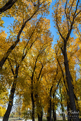A beautiful stand of trees in their fall foliage best