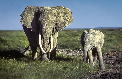 African Bush Elephant, Amboseli National Park, Kenya