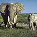 African Bush Elephant, Amboseli National Park, KenyaP