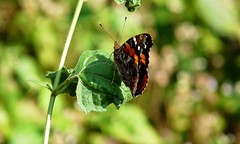 Himalayan Red Admiral - Buxa Tiger Reserve. (forest venkat) Tags: iceland insect macro good photo pic east west butterfly sea cloud could leaf bush humen men shoot jungle wild nikon canada california chennai city northamerica seascape culture wideangle animal fly forest bird landscape mountain delhi india belgium france mumbai northeast europe england elephant dance snake greentree grass redadmiral