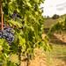 Tignanello grapes ready for harvest