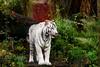 IMG_1336 (TvdMost) Tags: dierentuin dierenparkamersfoort tijger whitetiger wittetijger zoo