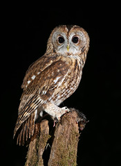Tawny Owl (oddie25) Tags: canon 1dx 100400mmmk11 owl tawny tawnyowl birdofprey birds bird birdphotography nature naturephotography wildlife wildlifephotography ianhowells