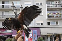 Rapace,  predator ( photopade (Nikonist)) Tags: rapace buse nikond300 nikon affinityphoto afsdxvrzoomnikkor1685mmf3556ged imac apple mac oiseau oiseaux chambéry