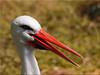 Portrait of a stork (Ostseetroll) Tags: deu deutschland geo:lat=5395205016 geo:lon=1003380326 geotagged heidmühlen schleswigholstein wildparkeekholt storch stork