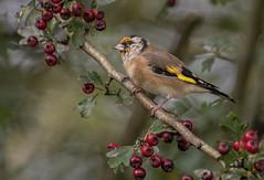 DSC_9640 Goldfinch (Rattyman76) Tags: nikon20005000mm d810 hawthorn berries goldfinch