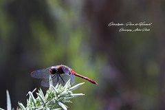 _MG_1236_DxO1 (christophefbt) Tags: libellule libellulidae libellula libélula odonate odonata стрекоза トンボ اليعسوب 蜻蜓 잠자리 dragonfly שַׁפִּירִית व्याधपतंग libel yusufçuk france vienne chauvigny poitou poitoucharentes poitiers vouneuil pinail 86 nature insecte insecta insect