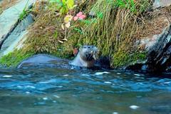 Catching fish (FISH-BIO) Tags: otters clearcreekotters clearcreek otterfamily otterscatchingfish catchingfish theoutdoors wildlife