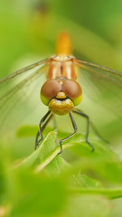 Sympetrum vulgatum - 105mm Macro (Visual Stripes) Tags: sympetrum dragonfly odonata compoundeye face insect wings leaves green composition macro sigma105mm olympusepm1 bokeh depthoffield dof