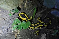 IMG_1482 (Laurent Lebois ©) Tags: laurentlebois france amphibien batracien amphibians afibi anfibio amphibia triton salamandre salamander salamandra tritone саламандра urodela hepetology herping
