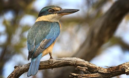 lagoon creek - another sacred kingfisher