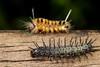 Orugas (Wilmer Quiceno) Tags: oruga gusano macro envigado eos70d macrofotografía insecto animal