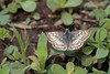 Pyrgus communis (Grote, 1872) (carlos mancilla) Tags: insectos mariposas butterflies pyrguscommunisgrote1872 pyrguscommunis hesperiidae pyrginae canoneos700d canoneosrebelt5i ef70300mmf456lisusm saltarinadetablero commoncheckeredskipper