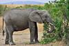 #09  Elefante Africano - Elephantidae Loxodonta Africana (José M. F. Almeida) Tags: kenya masai mara wildlife africa 2017 august reserv elefante africano elephantidae loxodonta africana quenia quênia safari