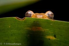 Unidentified tree frog (Ville.V.) Tags: ecuador tree frog rainforest herping herpetology nature wild wildlife