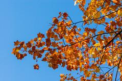 Fall (Yann OG) Tags: paris parisian parisien france french cimetière cemetery pèrelachaise fall automne autumn feuillesmortes feuille leave couleur colorful contraste contrast arbre tree 50mm 75020 xx 20e
