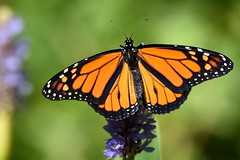 Oh snap, another monarch DSC_9405 (blthornburgh) Tags: monarch butterfly orange fall thornburgh tampa florida