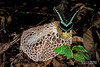 Bridal veil stinkhorn (Phallus sp.) - ESC_0217 (nickybay) Tags: malaysia borneo borneobootcamp sabah danumvalleyfieldcentre danumvalley macro bridal veil stinkhorn phallus phallaceae indusiatus phallales agaricomycetes basidiomycota