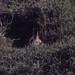 Bat-eared fox looks out of hole. Ndutu