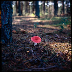 Mr Redhead - Ektachrome 100 exp* (magnus.joensson) Tags: sweden skåne skanör autumn september rolleiflex 35 zeiss tessar 75mm kodak ektachrome 100 exp 2005 c41 6x6 medium format mushroom fungus epson v800 scan