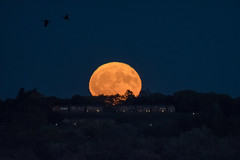 Harvest Moon 2017 (explore 10-7-17) (jpetcoff) Tags: harvest moon rise moonrise october fall trees evening dusk night full astronomy sky heavens up rising glow glowing