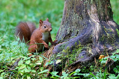 Red Squirrel, Autumn foraging (robin denton) Tags: squirrel redsquirrel yorkshiredales autumn forage foraging animal nature wildlife wensleydale yorkshire northyorkshire sciurusvulgaris ngc