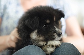 Aiko, 8 weeks old (Finnish lapphund)