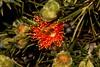 Eremaea acutifolia (andreas lambrianides) Tags: eremaeaacutifolia myrtaceae australianflora australiannativeplants wildflowers orangeflowers pinkflowers threatenedspecies westernaustralia