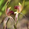 caladenia caudata (Kezfoto) Tags: caladeniacaudata tailedspiderorchid nativeorchid caladenia flora tasmania flowers threatenedspecies