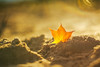 Autumn Leaf #280/365 (A. Aleksandravičius) Tags: autumn leaves bokeh lithuania color lietuva yellow red sand warm sun zenitmchelios40285mmf15 zenit helios helios402 old russianlens nikon nikond750 d750 85mm 365days 3652017 365 project365 280365
