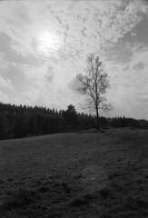 (holtelars) Tags: asahi pentax spotmatic spotmaticii smctakumar takumar 24mm f35 film 35mm analog analogue ilford fp4 ilfordfp4 100iso xtol bw blackandwhite monochrome filmphotography filmforever ishootfilm larsholte homeprocessing tree älekulla sweden sverige birch