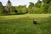 Walking The Dog (BigCam2013) Tags: animal bigcam2013 dogdays dogwalking dogs greenbelt greenfields labrador midlothian nikond5200 scenery walk walks water chocolatelabrador ecosse scotia