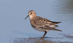 Baird,s Sandpiper (mandokid1) Tags: canon 1dx ef400mmdoii birds shorebirds