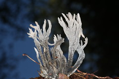 Helminthosphaeria clavariarum sur clavulina cinerea f (chug14) Tags: champignon pilze mushroom fungus fungi ascomycota sordariales sordariomycetes sordariaceae unlimitedphotos helminthosphaeriaceae pyrenomycetes clavulina cinerea