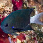 Blue axil Chromis - Chromis caudalis thumbnail