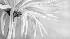 HMBT - white chrysanthemum (Elisafox22 A bit ON/OFF at the moment!) Tags: elisafox22 sony nex6 e30mm f35 macro monochromebokehthursday hmbt chrysanthemum white petals stem texture textures monochrome blackandwhite monotone light bokeh shadows bw mono greyscale elisaliddell©2017