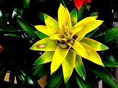 #Bromelia (RenateEurope) Tags: nature renateeurope 2017 iphoneography bromelia yellow flowers flora awesomeblossoms quintaflower