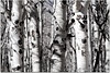 Aspen Grove'n (ctofcsco) Tags: 1320 300mm 5d 5dclassic 5dmark1 5dmarki aperturepriorityae canon colorado coloradosprings didnotfire digital ef28300mmf3556lisusm eos eos5d esplora evaluative explore explored f80 flashoff iso400 photo pic pretty renown superzoom unitedstates usa cripplecreek geo:lat=3874769308 geo:lon=10519537375 geotagged pattern texture abstract nearmonochrome